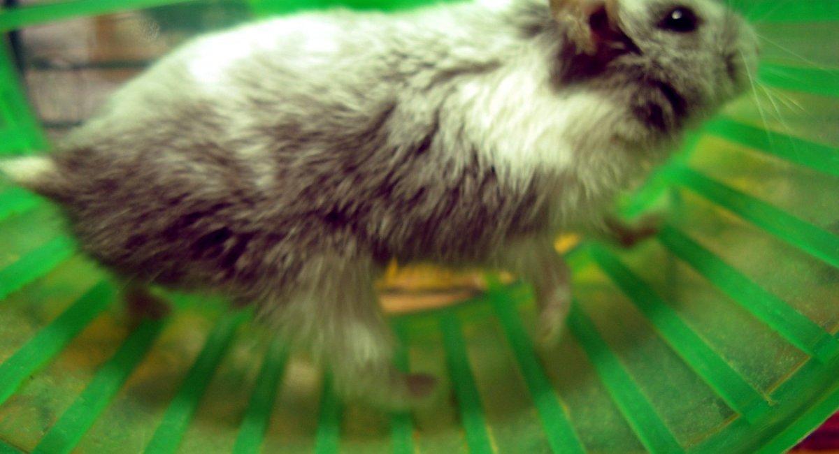 A hamster on a wheel